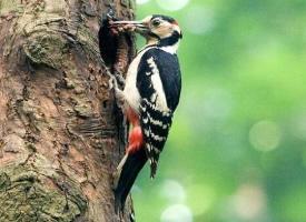 啄木鸟捉害虫图片