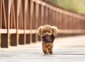 一組奔跑到吐舌頭的小狗狗圖片