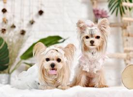 一組超級乖巧的約克夏狗狗圖片