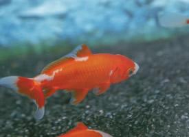 好看的金魚圖片