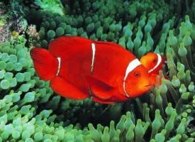 紅雙帶小丑魚圖片