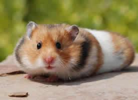 一组超级可爱的金丝熊仓鼠图片
