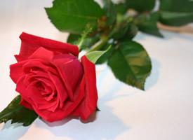 驚艷美麗的紅色玫瑰花圖片