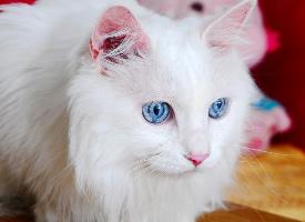 波斯貓大眼睛特寫圖片