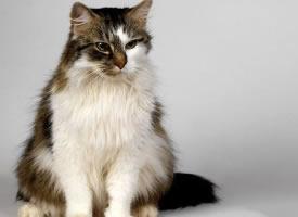 精美的波斯貓寵物圖片