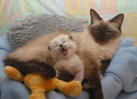 粘人的暹羅貓圖片欣賞