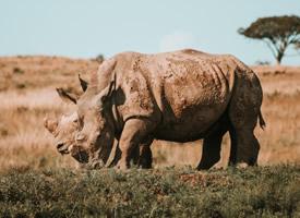 四肢发达的健壮犀牛图片欣赏