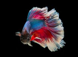 色彩鮮艷的泰國斗魚圖片