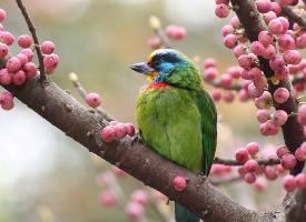 不好动的黑眉拟啄木鸟生态自然摄影图片