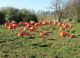 成群结队的粉红色火烈鸟图片