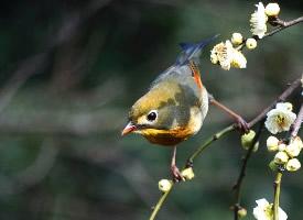 體型較小的紅嘴相思鳥高清圖片