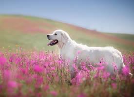 萌萌噠招人愛的金毛犬圖片