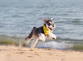 一组可爱活泼的雪纳瑞小狗狗
