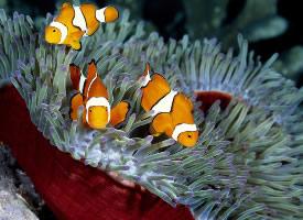 可爱天真的小丑鱼