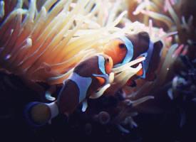 五彩斑斕的小丑魚圖片欣賞