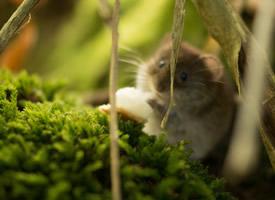一组小巧呆萌的小仓鼠图片欣赏