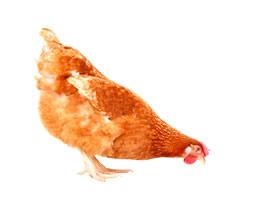 一组招人喜爱的母鸡图片欣赏