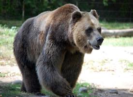 一组体型庞大的棕熊图片欣赏