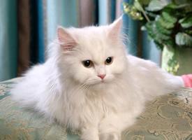 高貴的長毛波斯貓圖片