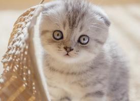 活潑乖巧的折耳貓圖片