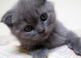 可愛的蘇格蘭折耳貓圖片
