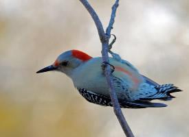 森林医生啄木鸟图片欣赏