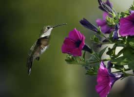 最小鳥類蜂鳥采蜜高清圖片欣賞