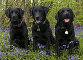 温和友善的黑色拉布拉多犬图片