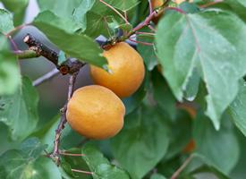 一組杏的果實成熟圖片欣賞