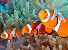 成群的小丑鱼图片