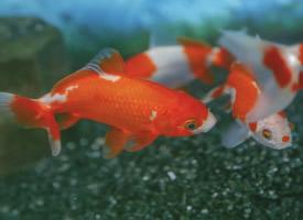 游態優美的金魚圖片