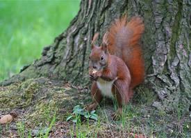 偶遇一只小松鼠覓食被抓拍圖片