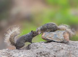 一組兩只小松鼠親吻圖片欣賞