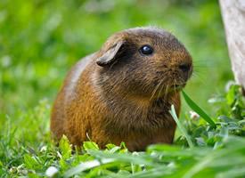 一組頭大頸短的日本大豚鼠