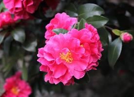 美麗而妖艷的紅色山茶花圖片