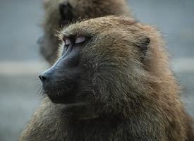 一組四肢發達聰明的大猩猩圖片欣賞