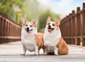 一組超級可愛的雙胞胎柯基狗狗