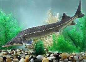鱘魚是現存起源最早的脊椎動物之一