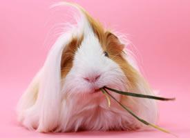 胖嘟嘟的荷兰猪豚鼠图片