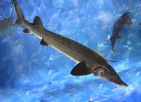 自由自在游動的鱘魚