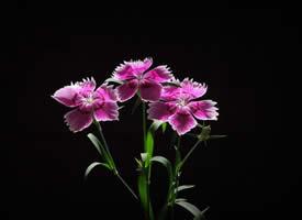 黑色背景下美丽的石竹花图片