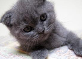 蘇格蘭折耳貓桌面壁紙圖片