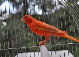 籠子里的金絲雀圖片