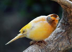 漂亮美麗的金絲雀圖片