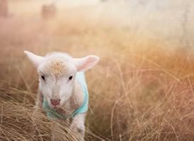 一組溫順迷人的綿羊圖片欣賞