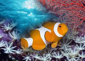 欢快的小丑鱼图片