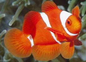 一组很好饲养的小丑鱼图片