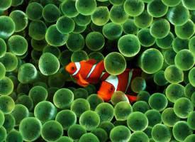隱藏的小丑魚高清圖片