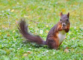 近距离拍摄棕色松鼠图片欣赏