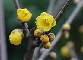 傲雪斗霜的黄色腊梅花图片